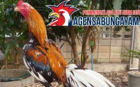 Bermain Sabung Ayam Zambia