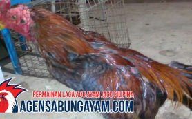 Daftar Sabung Ayam Yaman