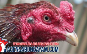 Register Sabung Ayam Yordania