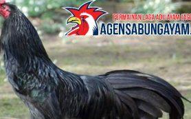 Sambung Ayam Uganda