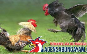 Agen Adu Ayam Aljazair
