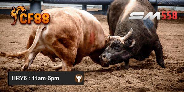 Jadwal Bullfighting Adu Banteng CF88MY 10 Januari 2018