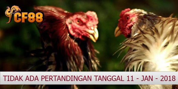 Jadwal Taruhan Ayam CF88ID 11 januari 2018